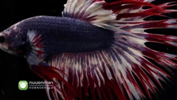 กบนอกกะลา : ปลากัด ปลาบ้านนา มูลค่าไฮโซ ช่วงที่ 3/4 (24 พ.ค.61)