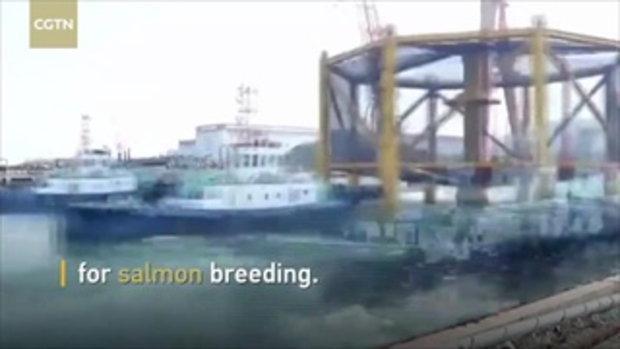 """ใหญ่สุดในโลก จีนเปิดใช้ """"กระชังยักษ์"""" เลี้ยงแซลมอน 3 แสนตัว"""