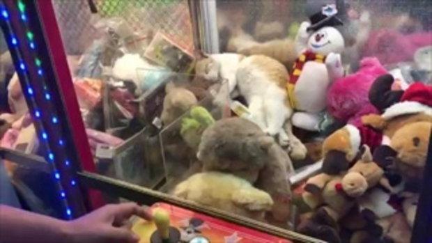 ไม่ไหวจะฮา เจ้าเหมียวแสนขี้เกียจแฝงตัวอยู่กับตุ๊กตา งานนี้คีบไปขำไป