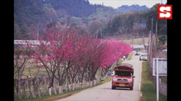 ซากุระสายพันธุ์ญี่ปุ่นบานแล้ว 100 เปอร์เซ็นที่ดอยอ่างขาง