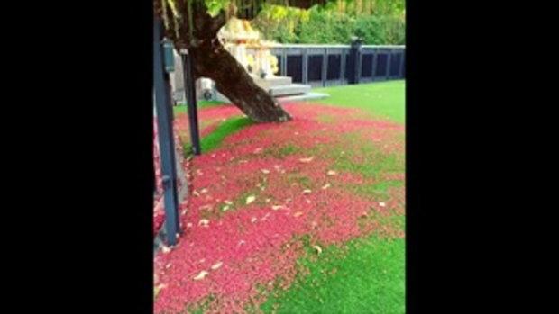 ต้นจิกน้ำหน้าบ้าน ป๋อ ณัฐวุฒิ บานสะพรั่งสวยมาก