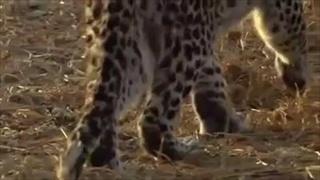 เสือดาวฆ่าแม่ลิงบาบูน แล้วเจอว่ามันมีลูกลิงเพิ่งเกิด