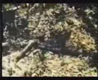 เสือjagur vs. งูอะนาคอนด้า