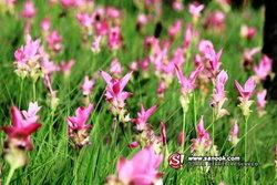 ชมทุ่งดอกกระเจียว และช้อปของฝากกลับบ้านที่ชัยภูมิ