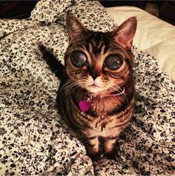 มาทิลดา แมวเอเลี่ยน หลังมีอาการ Lens Luxation