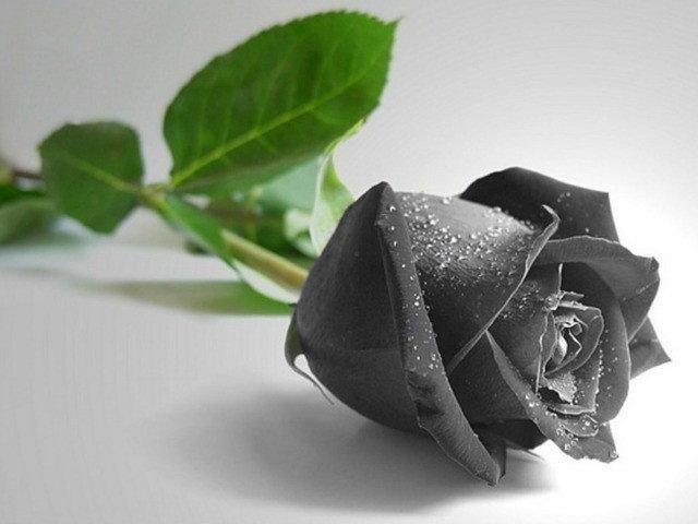 1515039668 black rose hd wallpapers