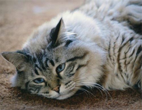 พิษของยาพาราเซตามอลในแมว