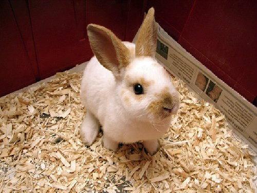 น่ารักสุดๆ ดู 10 อันดับสายพันธุ์กระต่ายยอดนิยม (ในอเมริกา)