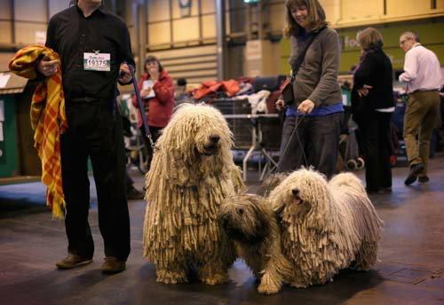 """หมา """"Komondor"""" เหตุใดถูกเรียกว่า """"หมาไม้ถูพื้น"""""""