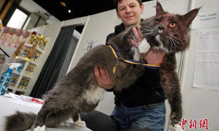 """นั่นแมวหรือเสือ? แมว 12 โล คว้ารางวัล """"เจ้าเหมียวยักษ์"""""""