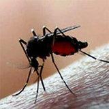 โรคชิคุนกุนยา อันตรายที่มากับยุงลาย