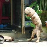 หมาสู้ชีวิตเดิน 2 ขา แบบคน