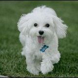 การนำสุนัขจากไทยไปอเมริกา