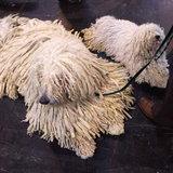 สุนัขพันธุ์ Komondor