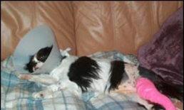 โรคสะบ้าเคลื่อนในสุนัข (Canine Patellar Luxation)