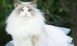 Aurora แมวสุดสง่า ที่มาพร้อมความ(ขน)สวยฟรุ้งฟริ้ง