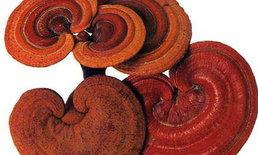 เห็ดหลินจือแดง สายพันธุ์สุดยอดแห่งเห็ดหลินจือ
