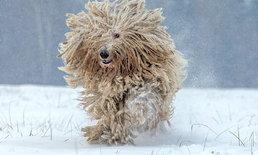 """น่ารัก! """"โคมอนดอร์"""" สุนัขพันธุ์ """"ไม้ม็อป"""" กับเส้นขนหนาปุกปุย"""