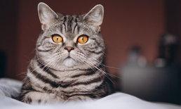 """ระวังหน่อย! """"แมว"""" มีสิทธิ์ติด COVID-19 จากคนได้"""