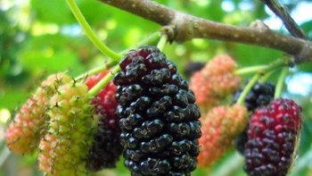 7 ประโยชน์ของมัลเบอร์รี สุดยอดผลไม้ดีเพื่อสุขภาพ