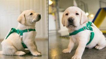 แต่เล็กแต่น้อย! ชมความน่ารักของเหล่า 'สุนัขกู้ภัย' ที่ต้องฝึกกันตั้งแต่ตัวนิดเดียว